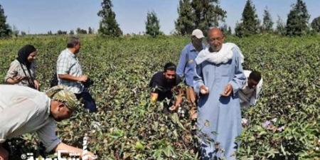 حصاد 200 فدان من محصول القطن وبيع 668 قنطارًا في الإسكندرية ...القنطار بـ 4880 جنيه