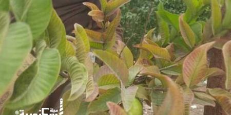 قافلة إرشادية لمواجهة مرض النيماتودا في مزارع الإسكندرية....تصيب أشجار الجوافة