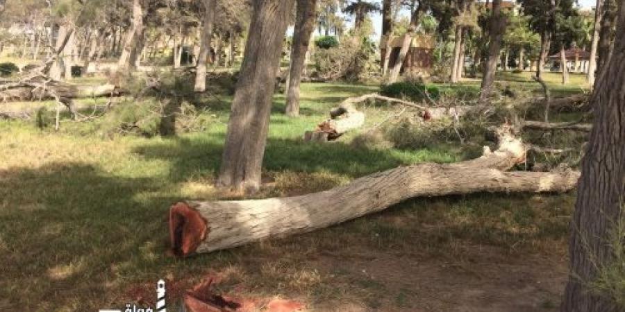 قطع بعض اشجار قصر المنتزة بسبب التسوس
