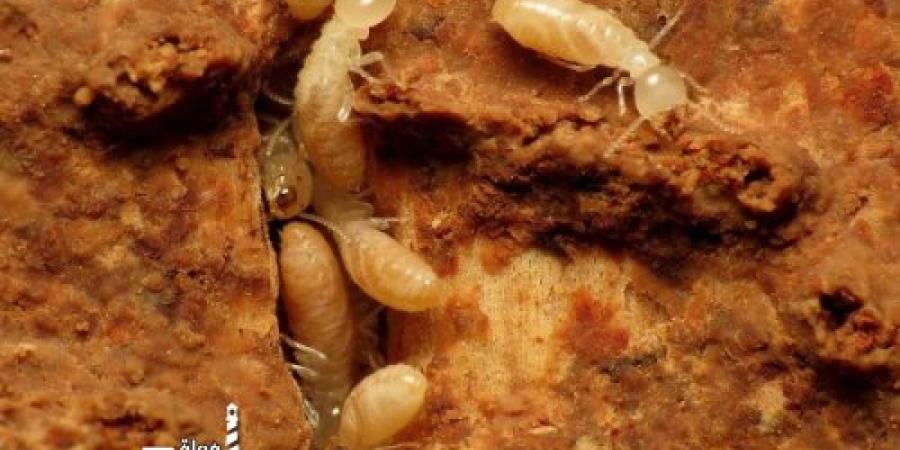 البخشوان  : إدراج مكافحة النمل الأبيض ضمن اشتراطات البناء بالمباني الجديدة