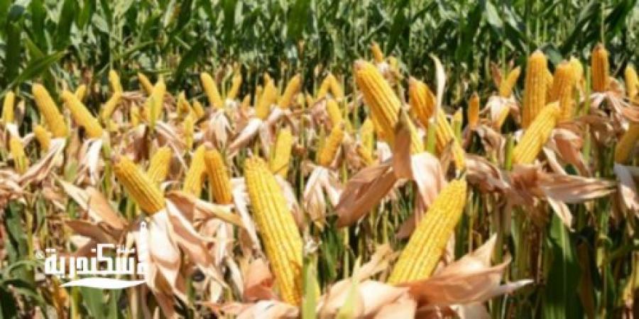 زراعة الإسكندرية... بدء زراعة الحقول الإرشادية للذرة الشامية